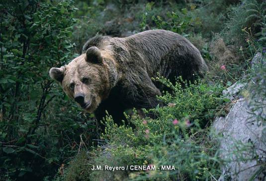 Buenas prácticas para la observación del Oso, Lobo y Lince en España